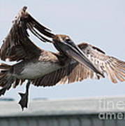 Brown Pelican Landing Art Print