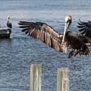 Brown Pelican Touchdown Art Print