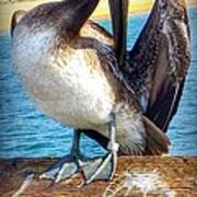 Brown Pelican Preen  Art Print