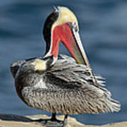 Brown Pelican Preening Art Print