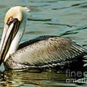 Brown Pelican Swimming Art Print