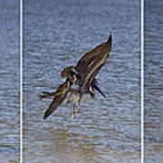 Brown Pelican - Triptych Art Print