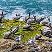 Brown Pelicans Art Print