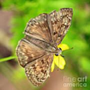 Brown Skipper Butterfly Square Art Print