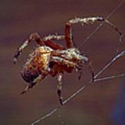 Brown Spider Art Print