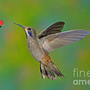 Brown Violet-ear Hummingbird Art Print