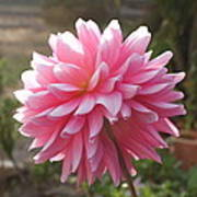 Bubble Gum Dahlia Art Print