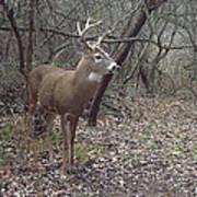 Buck In The Woods Art Print