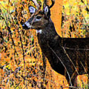 Buck Scouting For Doe Art Print