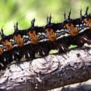 Buckeye Caterpillar 2 Art Print