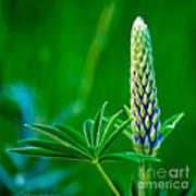 Bud And Leaf Of A Lupin Art Print