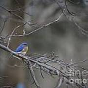 Budding Bluebird Art Print