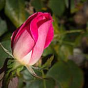 Budding Pink Rose Art Print