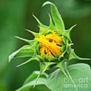 Budding Sunflower Art Print