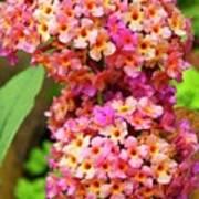 Buddleja Sp. Plant In Flower Art Print