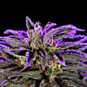 Buds In Bloom Art Print