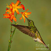 Buff-tailed Coronet Hummingbird No 1 Art Print