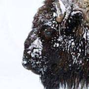 Buffalo   #0164 Art Print