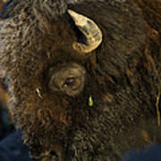 Buffalo   #5601 Art Print