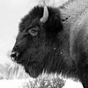 Buffalo Black And White Art Print