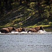 Buffalo Crossing - Yellowstone National Park - Wyoming Art Print