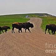 Buffalo Crossing Art Print