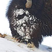 Buffalo Eating   #9634 Art Print