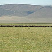 Buffalo Herd Art Print