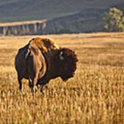 Buffalo Watching Art Print