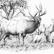 Bull And Harem Art Print