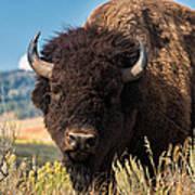 Bull Bison Art Print