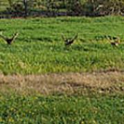 Bull Elk At Dean Creek Art Print