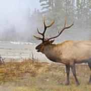 Bull Elk Bugles Loves In The Air Art Print