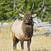 Bull Elk IIII Art Print