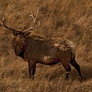 Bull Elk In Evening Light Art Print