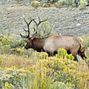 Bull Elk In Rut Art Print