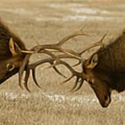 Bull Elk In The Rut   #8924 Art Print