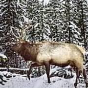 Bull Elk In The Woods Art Print