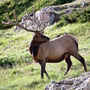 Bull Elk In Velvet Art Print