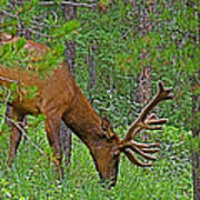 Bull Elk Near Maligne Canyon In Jasper Np-alberta Art Print