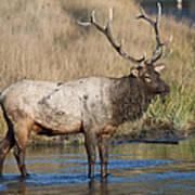Bull Elk On The Madison River Art Print
