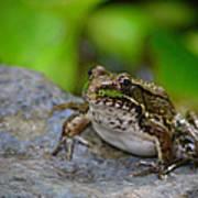 Bull Frog Art Print