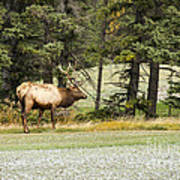 Bull In Waiting Art Print