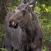 Bull Moose   #5654 Art Print