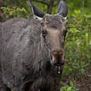 Bull Moose   #5712 Art Print