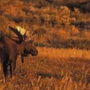 Bull Moose At Sunset Art Print