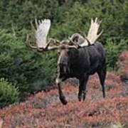 Bull Moose In Autumn Art Print
