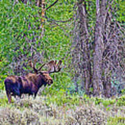 Bull Moose In Gros Ventre Campground In Grand Tetons National Park-wyoming Art Print