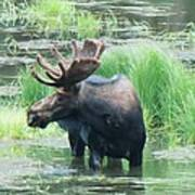 Bull Moose In The Wild Print by Feva  Fotos