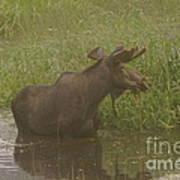 Bull Moose Looking Around  Art Print